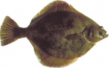 yellowfin sole Alaska