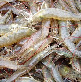 Thai government forecasts 400,000t as possible 2015 shrimp production