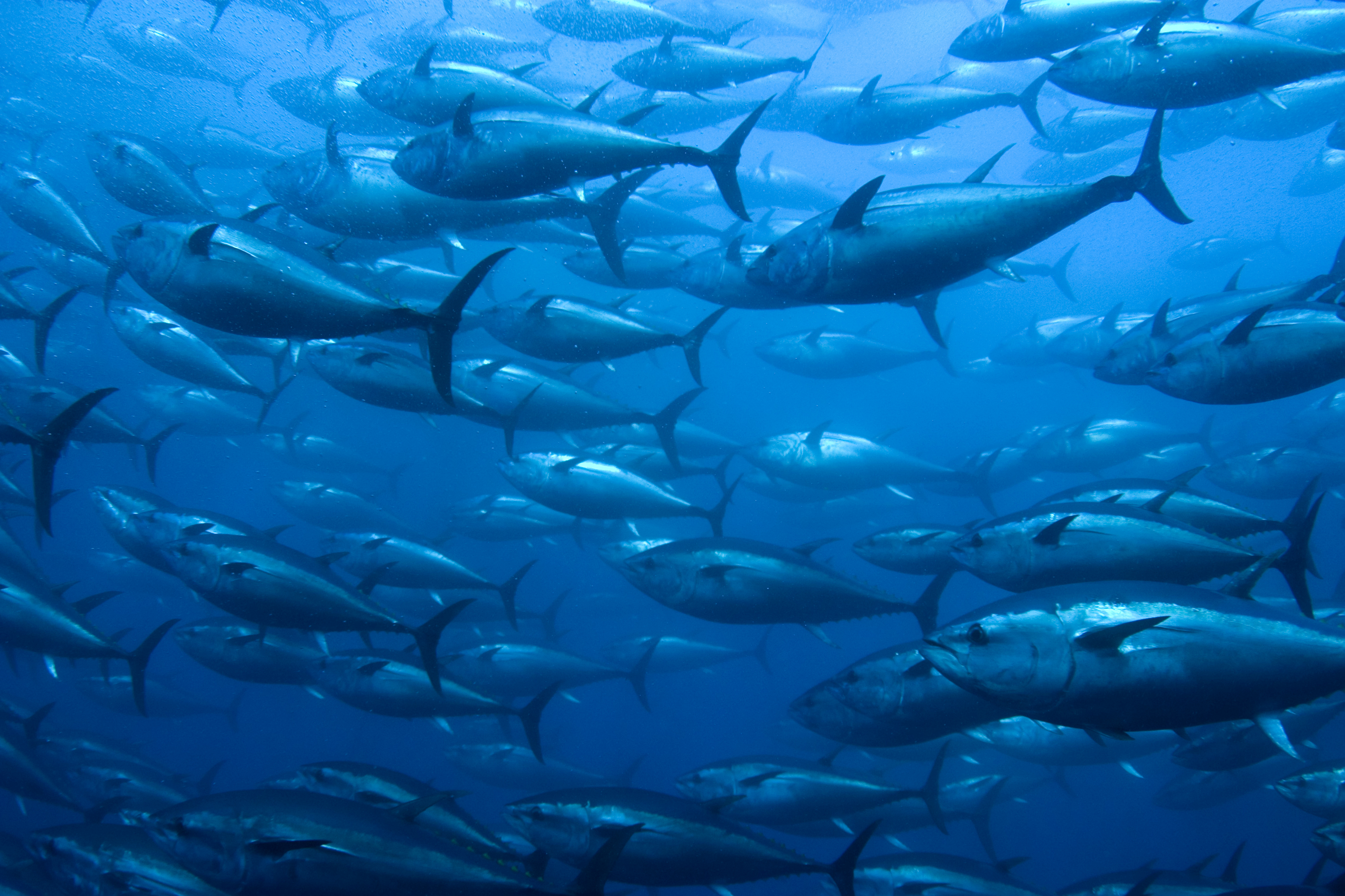Ricardo fuentes to produce world s first land farmed for Tuna fish price