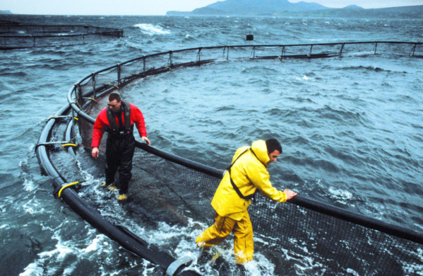 World s top 20 salmon farmers mitsubishi moves into for Fishing jobs in maine