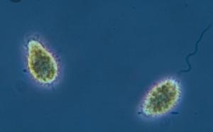 pseudochattonella-sp